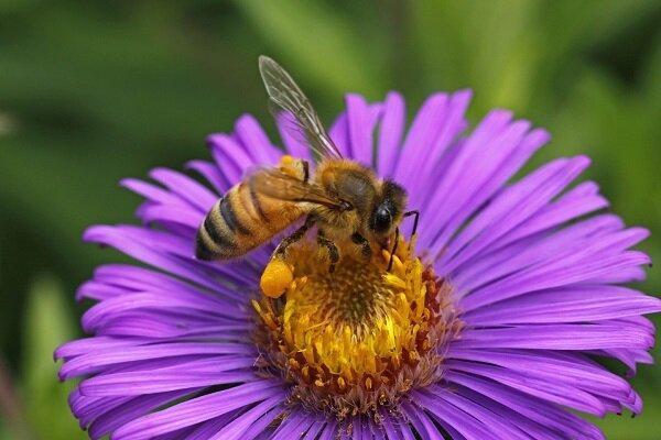 زهر زنبور عسل دارویی مؤثر برای درمان سرطان سینه