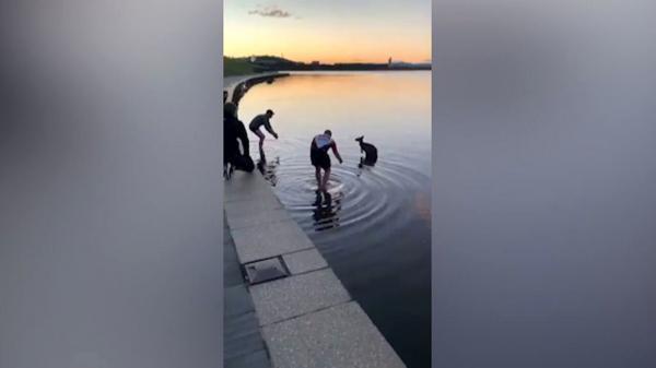 کانگوروی گرفتار در رودخانه نجات یافت